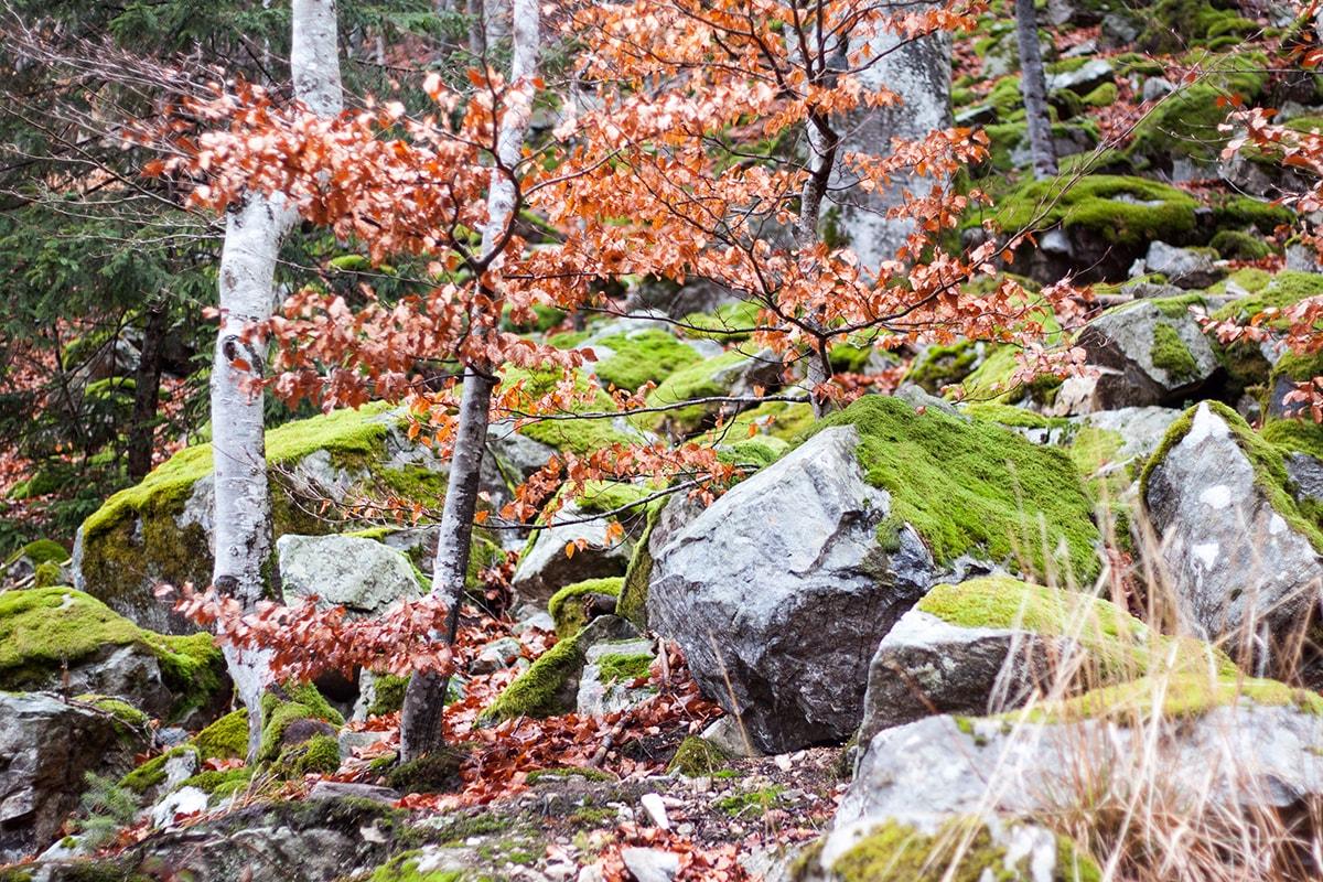Fotografie. Foto vom Schwarzwald im Herbst mit buntem Laub und Bäumen die mit Moos bedeckt sind.